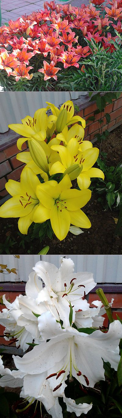 Surprising Lilies! Correct landing and care of Lilies