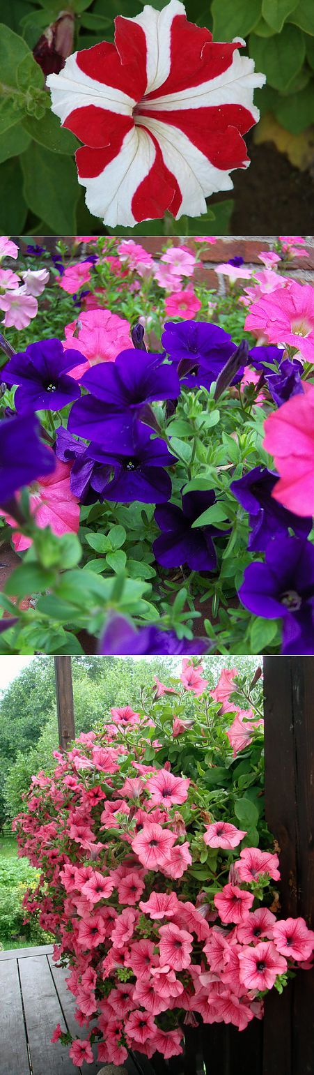 Ботаничка.ru | Petunia. Cultivation, leaving, reproduction, landing, use. Diseases. Flower. Photo